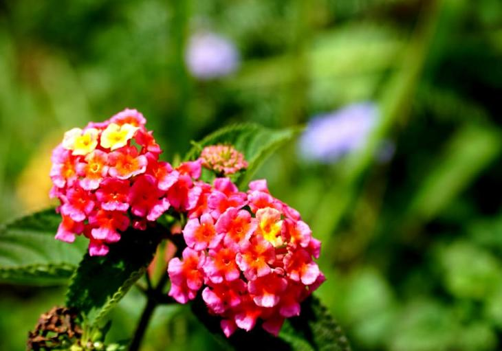 Lantanas when camping hiking trekking in Da Lat